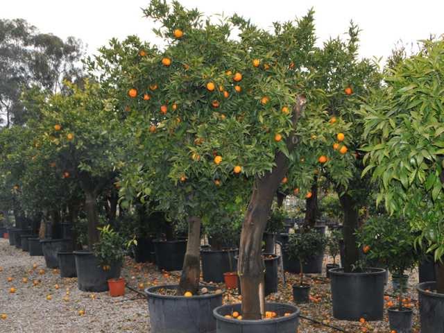 arbres fruitiers et agrumes p pini re euro plantes. Black Bedroom Furniture Sets. Home Design Ideas